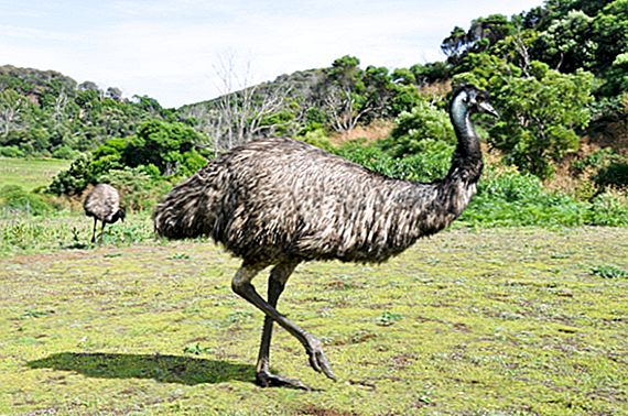 Emus vs Människor: The Great Emu War of 1932