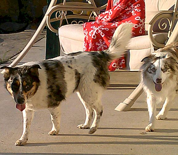 "De ""Australian"" Shepherd Breed is ontwikkeld in Amerika"