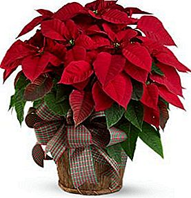 Poinsettias pole mürgised