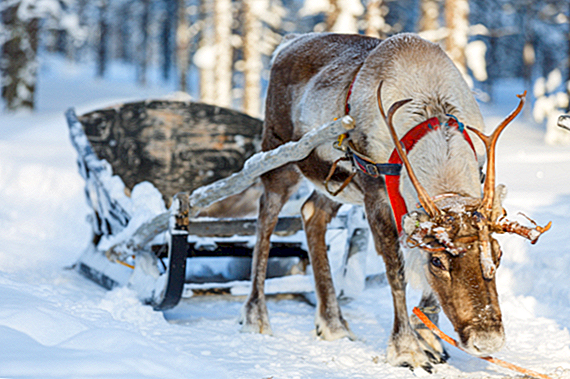 The Very Real Reindeer en How They Became Associated With Christmas